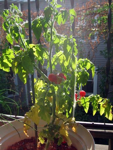 tomatoes 2 7.23