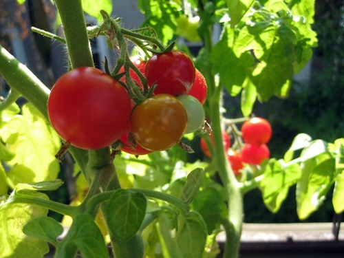 tomatoes 7.23