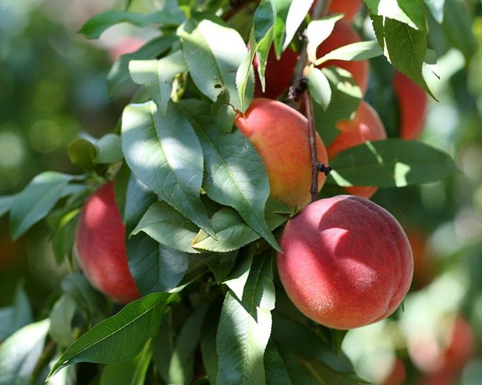 751px-Harrow_Beauty_peaches_at_Lyman_Orchards,_2009-08-30